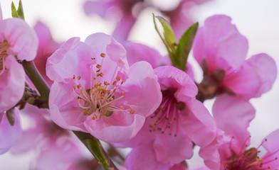 Panel Szklany Do salonu peach flowers