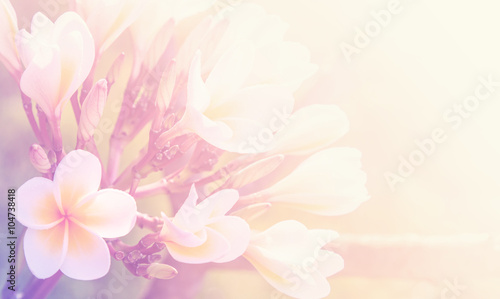 Spoed Foto op Canvas Frangipani Beautiful plumeria flower as nature soft background