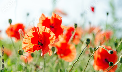 Poster Poppy Summer happiness: meadow with red poppies