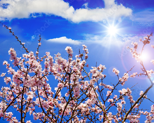Poster Donkerblauw Spring beauty : fragrant almond blossoms :)