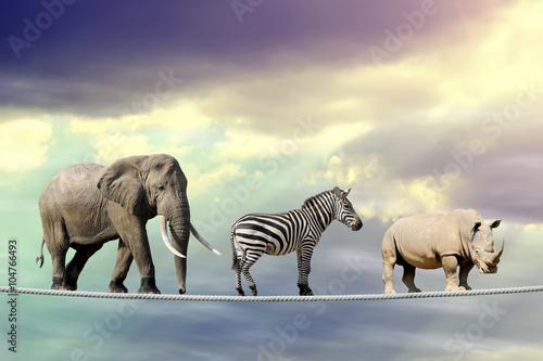 Poster Rhino Elephant, zebra, rhino walking on a rope