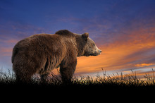 Bear On The Background Of Sunset Sky