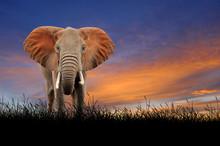 Elephant On The Background Of ...