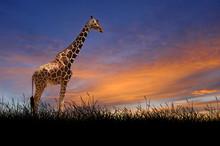Giraffe On The Background Of Sunset Sky