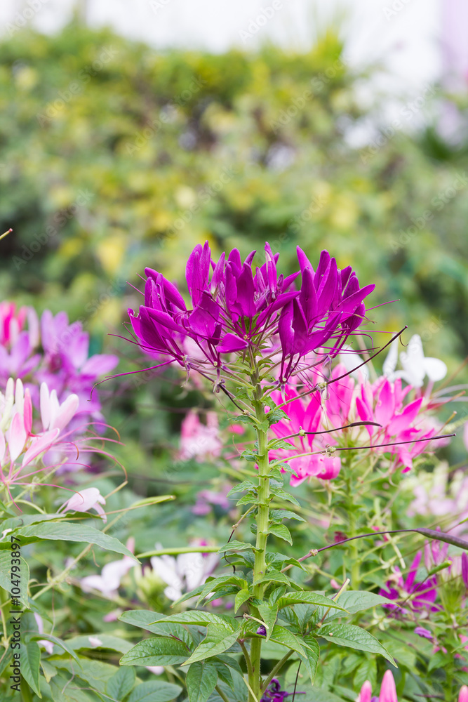 Close up Purple spider flower in the garden