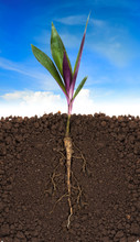 Young Plant With Exposed Roots In Soil And Blue Sky