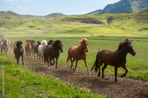 Icelandic horses galloping down a road, rural landscape, Iceland Wallpaper Mural