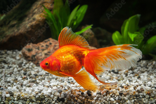 Fish. Goldfish in aquarium with green plants, and stones Canvas Print