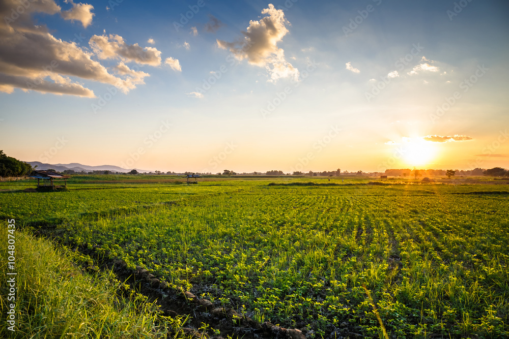Fototapety, obrazy: Peanut farm