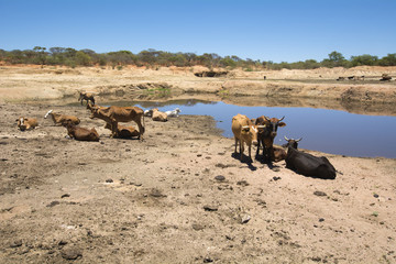 Thirsty Cows