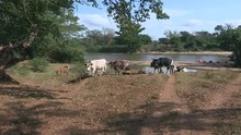 Nguni Cattle Walking Up From Dam And Across Sandy Ground And Under Shady Trees.