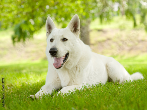 Photo  Purebred White Swiss Shepherd lying on the grass