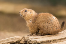 Black-tailed Prairie Dog, Cyno...