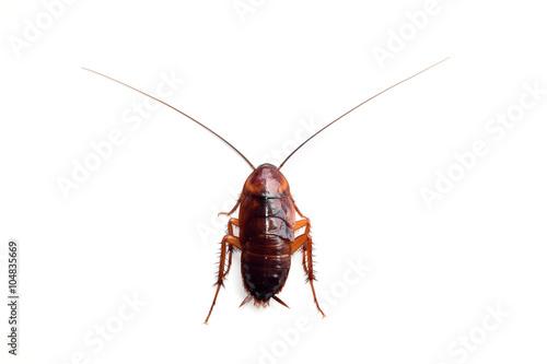 Little single upset cockroach isolate on white background