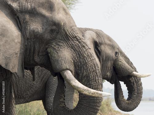 Photo  Elefante africano