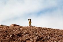 Male Roadrunner On Top Of Hill With Lizard In Its Beak.