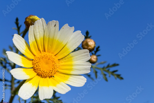 White daisy flower with yellow center against blue sky buy this white daisy flower with yellow center against blue sky mightylinksfo