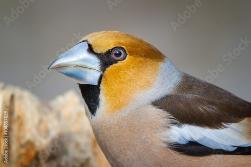 Obraz na plátně The Portrait of Hawfinch