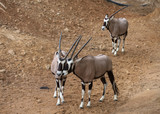 Oryx gazella together