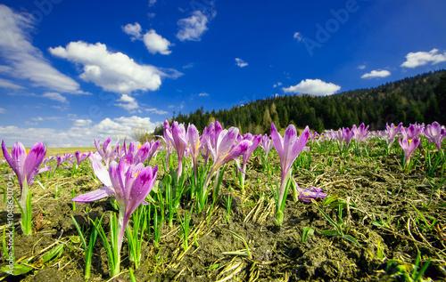 Łąka pełna krokusów na wiosnę
