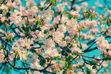 Obraz na SzkleVintage blossoming apple branch