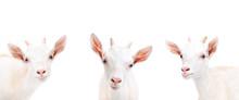 Portrait Of Three Goat