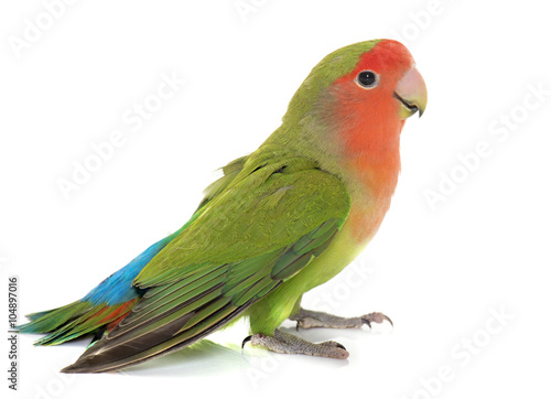 Valokuvatapetti Peach faced Lovebird