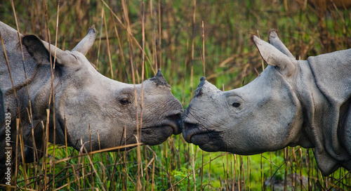 Poster Rhino Two Wild Great one-horned rhinoceroses looking at each other face to face. India.