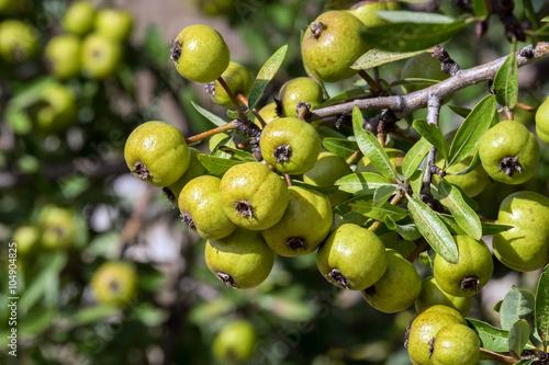 Wildbirnen, Wild Pear Tree 16048.jpg