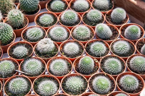 Fotografía  Cactus in a pot