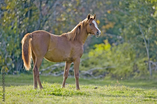 Young chestnut Horse at pasture Poster