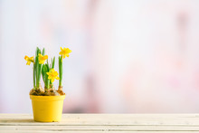 Daffodils In A Yellow Flowerpot On A Violet Background