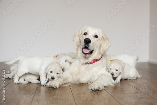 Tablou Canvas happy golden retriever dog with her puppies