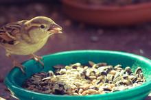 Sperling - Sparrow