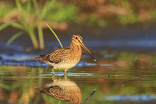 Snipe In All Its Glory, Knee-deep In Water/Snipe In All Its Glory, Knee-deep In The Water, Summer Sun