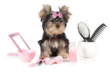 Yorkshire Terrier With Groomin...