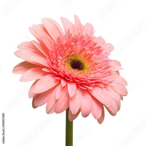 Staande foto Gerbera Flower pink gerbera