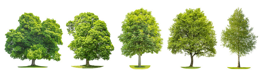 Set trees maple, oak, birch, chestnut. Isolated objects