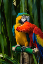 Macaw.Poultry Is A Family Psittacidae Macaw Is A Large Bird Family Hookworm. Popular Culture Is Very Colorful Because Of The Beautiful, Tame And Can Imitate Them.