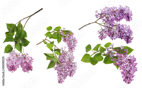 Foto op Plexiglas Lilac light isolated lilac inflorescences collection