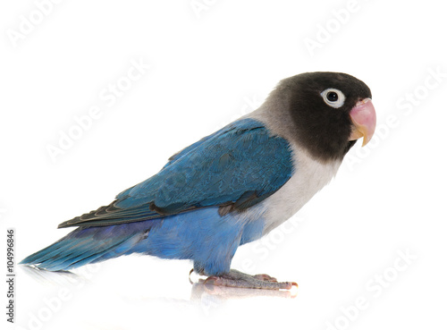Stampa su Tela blue masqued lovebird