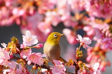 Fototapetaメジロと河津桜
