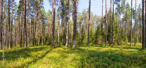 Fotobehang Bossen Summer pine forest panorama