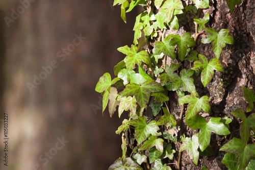 Fotografie, Obraz  Ivy na stromové kůry