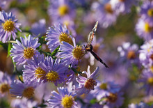 Butterfly On Flowers  Chrysanthemum In Autumn Garden