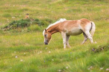 Naklejka na ściany i meble Palomino horse grazing
