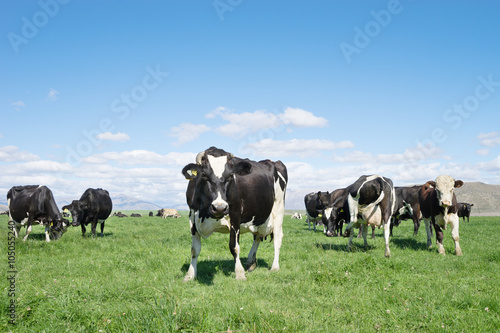 Fotobehang Koe pasture with animals in summer sunny day in New Zealand