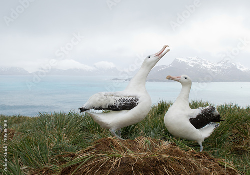Fényképezés Pair of wandering albatrosses on the nest, socializing, with snowy mountains and
