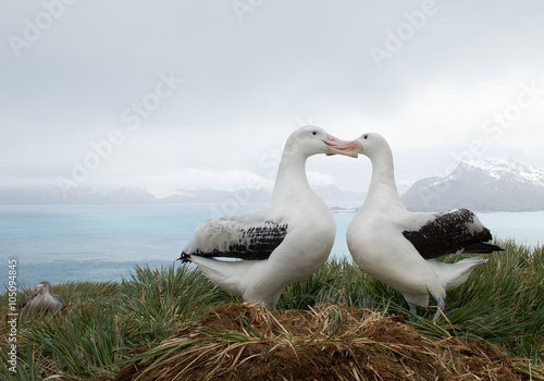 Obraz na plátne Pair of wandering albatrosses on the nest, socializing, with snowy mountains and