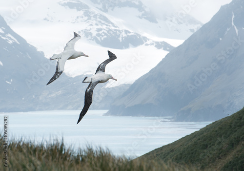 Valokuva  Pair of wandering albatrosses flying above grassy hill,  with snowy mountains an